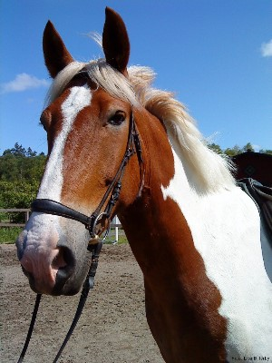 Elmo: the Irish cob who bucked me off... and lead to this web site!