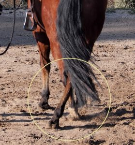 Exercise: teach the horse to yield the hindquarters