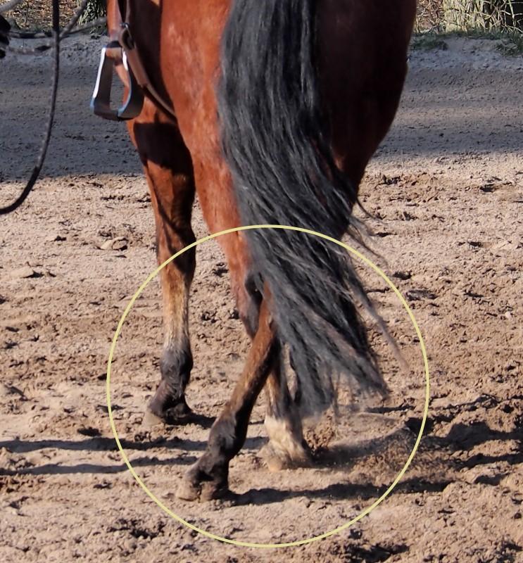 Exercice : éduquez votre cheval à croiser ses postérieurs