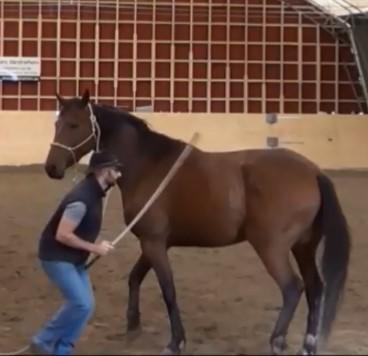 Downunder horsemanship : stick, relation proie-prédateur