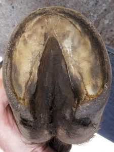 Brego's front left hoof in early July 2014