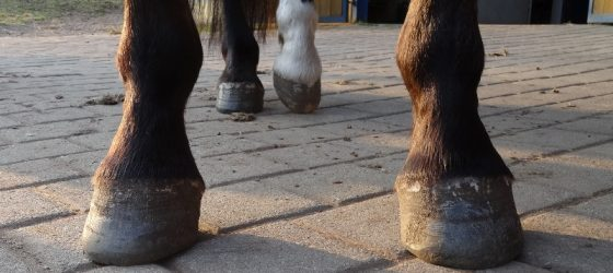 Hoof Care: rehabilitating hooves contaminated with deep thrush