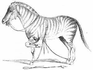 Horseman - John Solomon Rarey's method to strap up horses