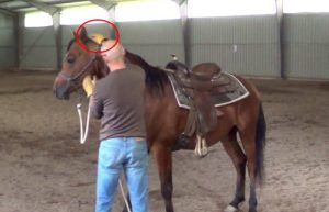 How to teach your horse to put the head down for an easy bridling