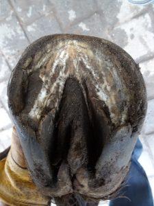Left front hoof (under)