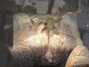 Right front hoof (back)