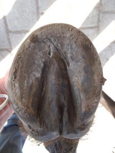 Right front hoof (under)