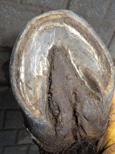Right hind hoof (under)