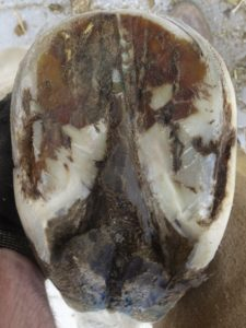 Left front hoof May 7, 2016 - Sole