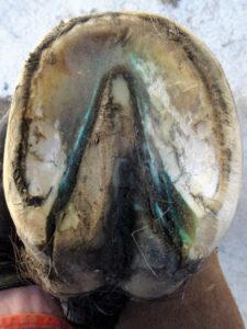 Left front hoof March 10 - Sole