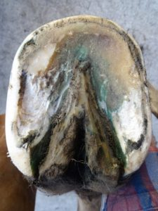Right front hoof March 10 - Sole