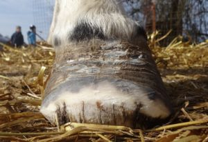 Left front hoof March 11, 2017 - Front