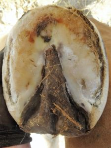 Left front hoof March 11, 2017 - Sole